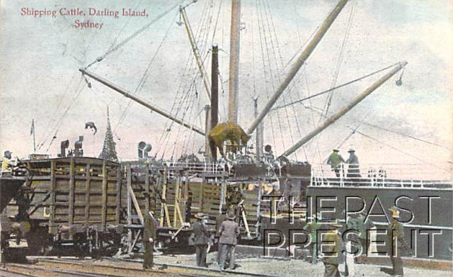 Shipping Cattle at Darling Island